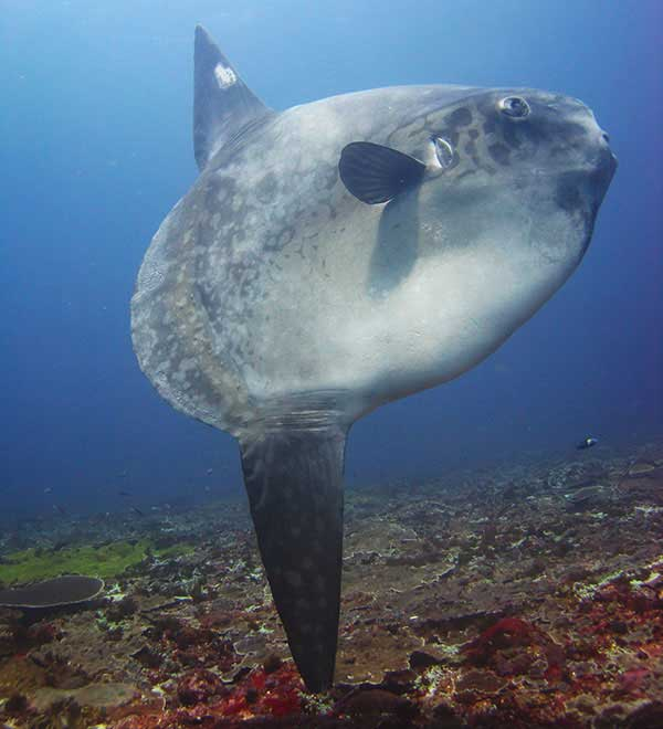 mola spotted around Nusa Penida by Big Fish Divers